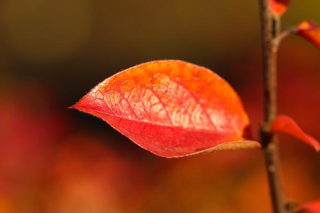 Primo piano di una foglia di crespino rosso contro uno sfondo autunnale sfocato naturale