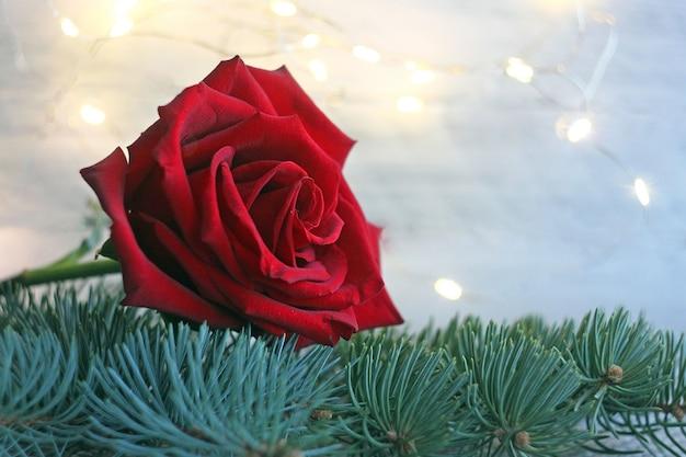 Primo piano di una rosa rossa sdraiata su un ramo di abete verde sullo sfondo di una ghirlanda sfocata