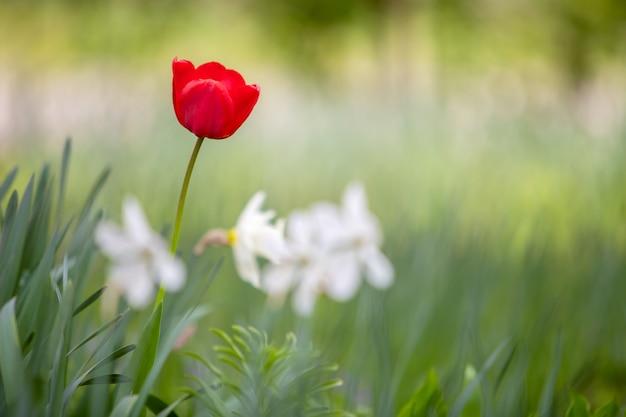 Primo piano dei fiori rossi del tulipano che fioriscono nel giardino di primavera all'aperto