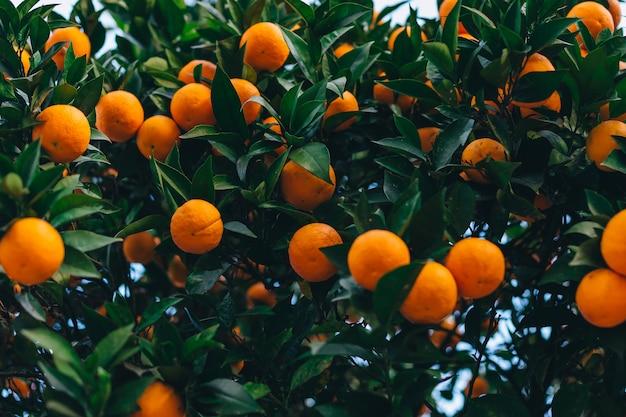 Primo piano di arance mature su un albero con foglie verdi.