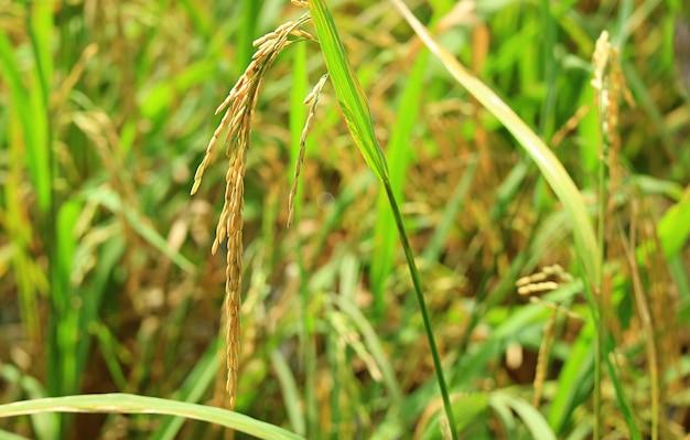 Primo piano i chicchi di riso maturi nelle risaie durante la stagione del raccolto