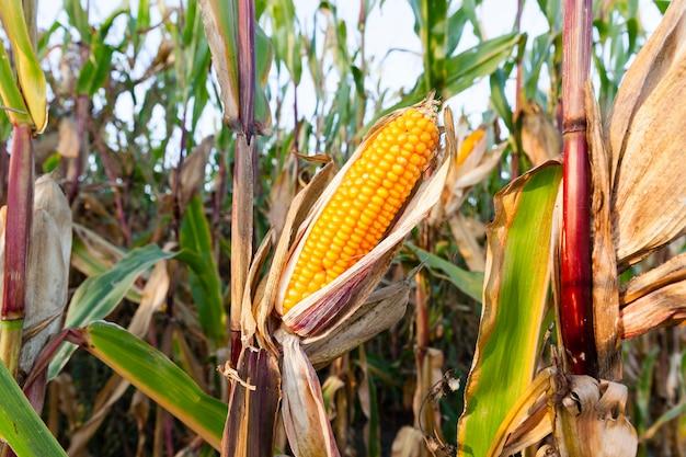 Primo piano del mais essiccato giallo maturo che cresce in un campo agricolo, pianta aperta delle orecchie, stagione autunnale