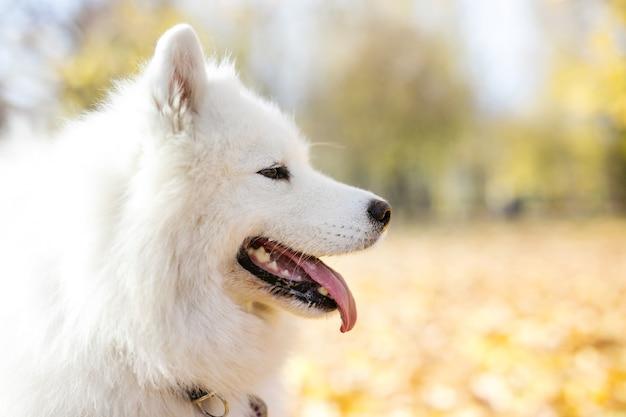 Primo piano del cane samoiedo nella sosta di autunno