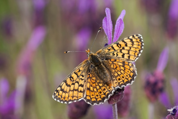Primo piano fuoco selettivo colpo di una farfalla arancione seduto su una pianta viola
