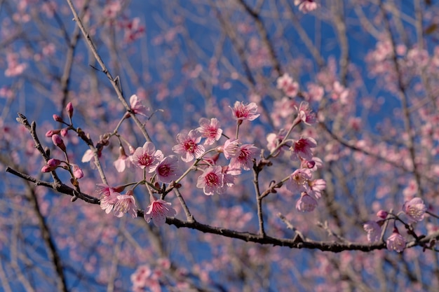 Il primo piano selettivo ha messo a fuoco molte ciliegie himalayane selvatiche rosa in fiore sui rami degli alberi sullo sfondo luminoso del cielo azzurro
