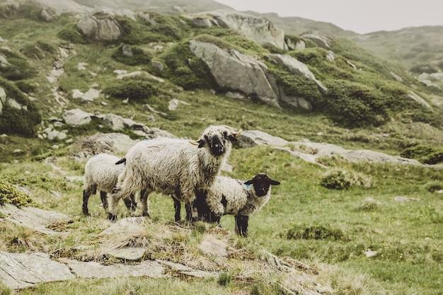 Primo piano pecore in scene di montagna, a piedi attraverso il grande ghiacciaio dell'aletsch, percorso aletsch panoramaweg nel parco nazionale svizzera, europa. paesaggio estivo, tempo soleggiato e giornata di sole