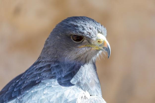 Primo piano della scudo eagle geranoaetus melanoleucus adulto.