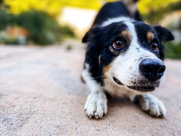 Colpo del primo piano di un adorabile cane border collie