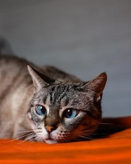 Primo piano di un adorabile gatto con gli occhi azzurri su una scena sfocata