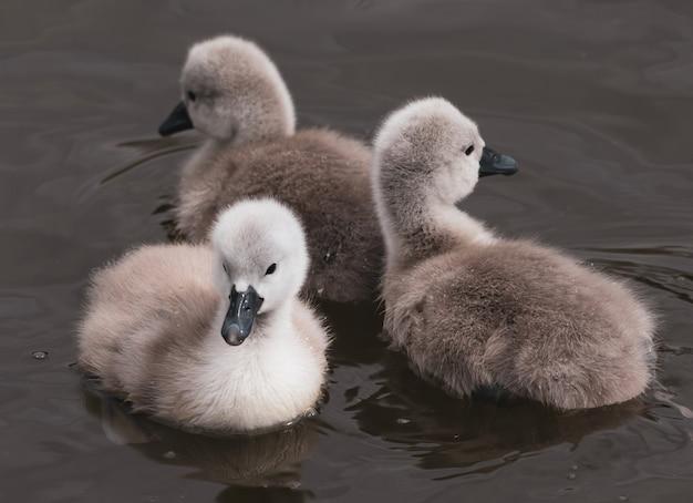 Colpo del primo piano dei cigni del bambino che nuotano in un lago