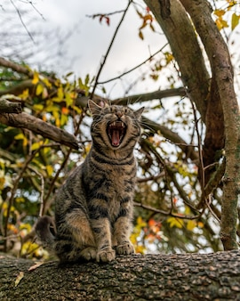 Primo piano di un bellissimo gatto a strisce grigio seduto su un albero che si sveglia e sbadiglia