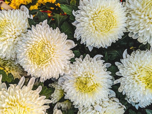 Colpo del primo piano di bei fiori bianchi e gialli dell'aster in un giardino