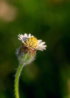 Primo piano di un bellissimo fiore di campo in un giardino