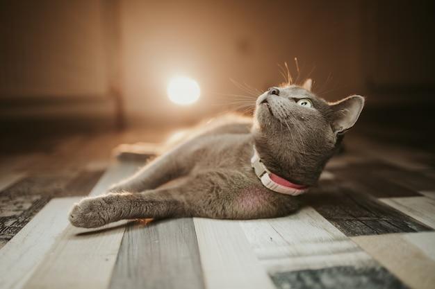 Primo piano di un gatto nero domestico di bombay sdraiato sul pavimento