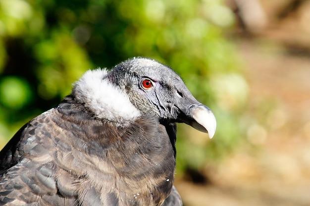 Colpo del primo piano di un avvoltoio nero con gli occhi rossi Foto Premium