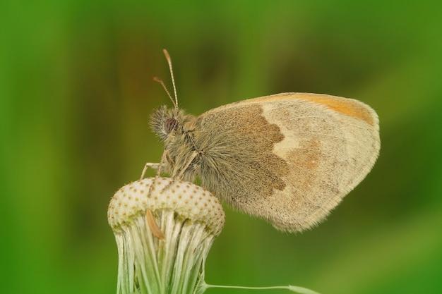 Colpo del primo piano di una farfalla marrone della brughiera