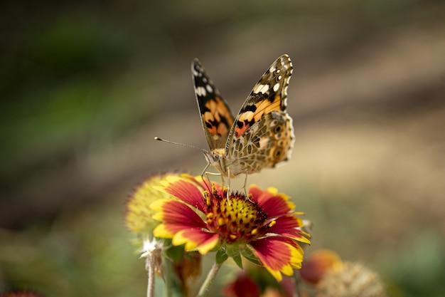 Colpo del primo piano di una farfalla su un bel fiore rosso su offuscata