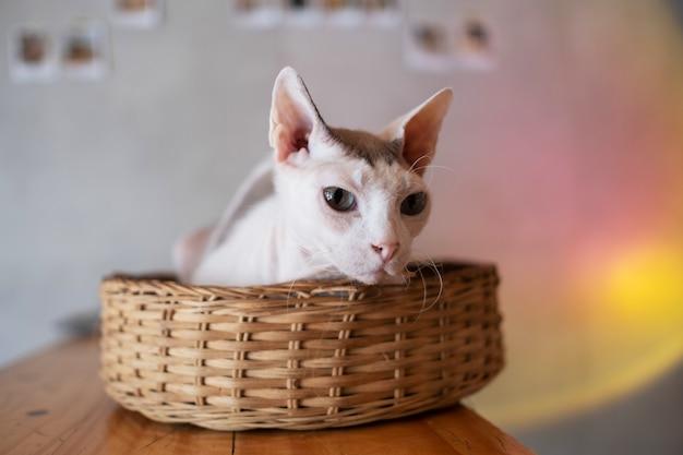 Primo piano di un gatto a terra, animale domestico Foto Premium