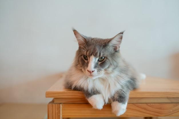 Primo piano di un gatto a terra, animale domestico