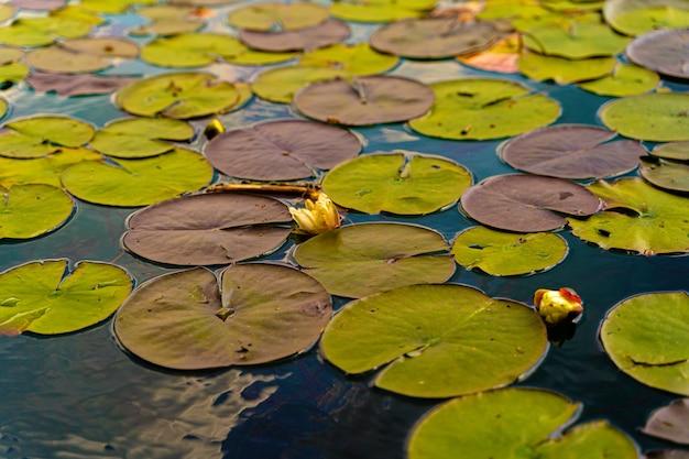 Colpo di chiusura di una ninfea colorata lascia sulla superficie di un lago di bled durante il giorno