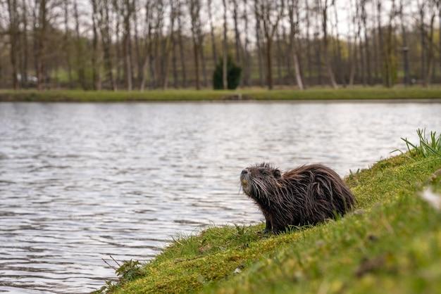 Primo piano di una nutria in riva al lago