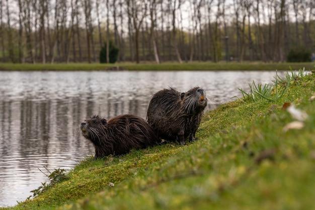 Primo piano della nutria in riva al lago