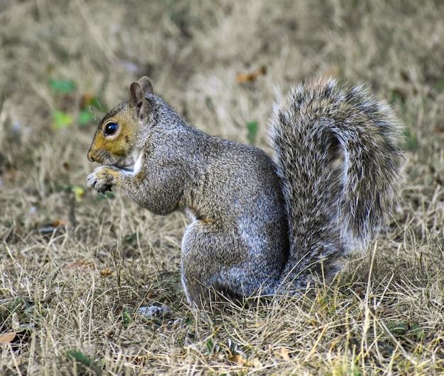 Primo piano di un simpatico scoiattolo grigio su una superficie sfocata