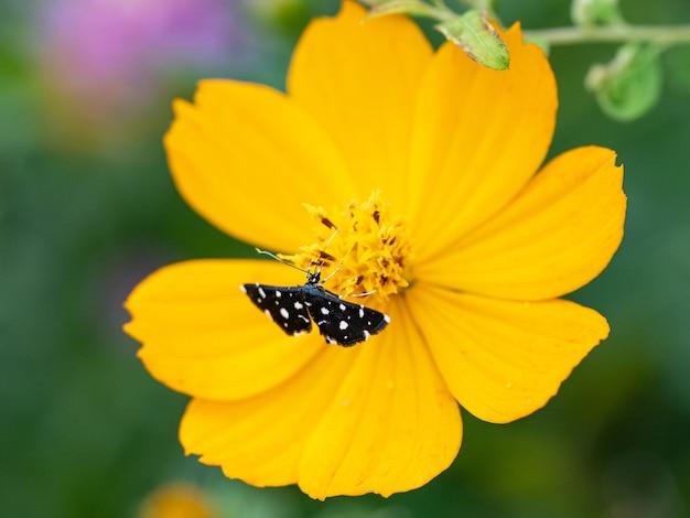Primo piano di una falena punteggiata con ali nere si nutre di un grande fiore giallo