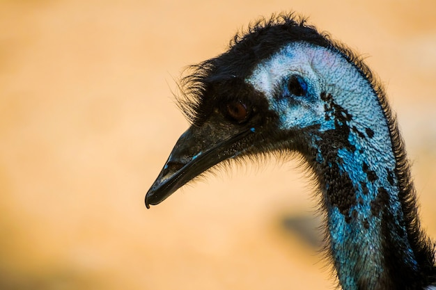 Primo piano di un uccello emu nell'al areen wildlife park in bahrain