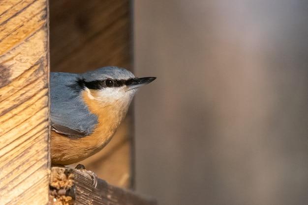 Primo piano di una cinciarella eurasiatica su una mangiatoia per uccelli