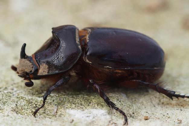 Primo piano dello scarabeo rinoceronte europeo su uno sfondo sfocato