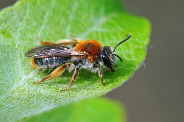 Primo piano di un'ape mineraria dalla coda arancione femminile, andrena haemorrhoa su una foglia di salice di capra
