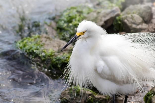 Colpo del primo piano di un uccello lanuginoso egret nevoso appollaiato sulle rocce vicino a un fiume