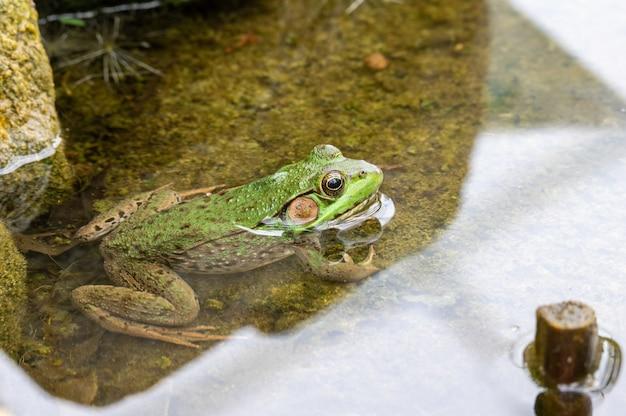 Primo piano di una rana in uno stagno