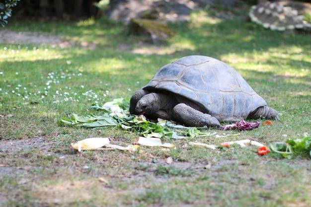 Primo piano di una tartaruga gigante che si gode il pranzo