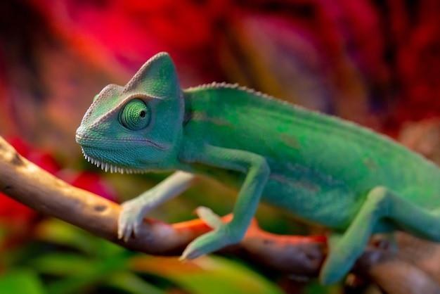 Colpo del primo piano del camaleonte verde nello zoo