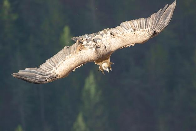 Primo piano di un avvoltoio grifone che vola nel cielo