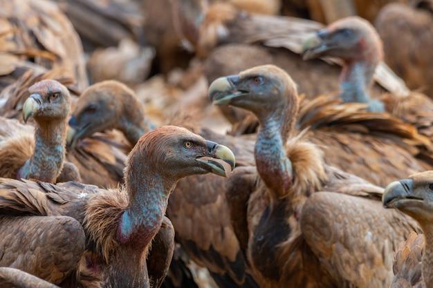 Primo piano di avvoltoi grifoni, i secondi uccelli più grandi d'europa