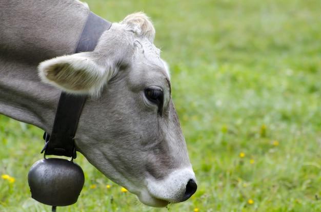 Colpo del primo piano della testa di una mucca sul paesaggio verde
