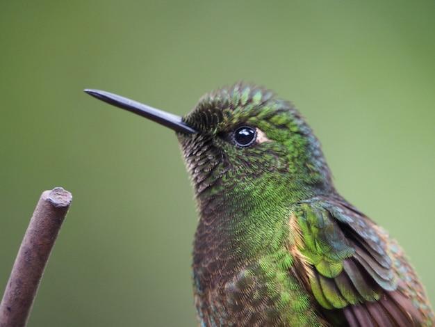 Colpo del primo piano di un colibrì