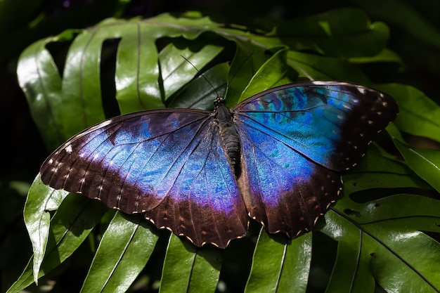 Primo piano di una grande farfalla morpho blu peleides con bellissime ali blu su un fogliame fresco