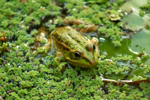 Colpo del primo piano di una rana di visone su foglie verdi