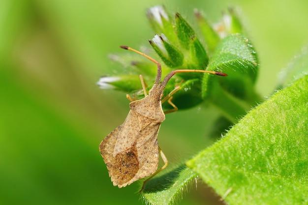 Colpo del primo piano di un leatherbug rombico, syromastus rhombeus, sorseggiando da un fiore fresco di veronica