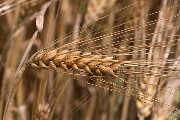 Colpo del primo piano di un orecchio di grano dorato maturo in un campo
