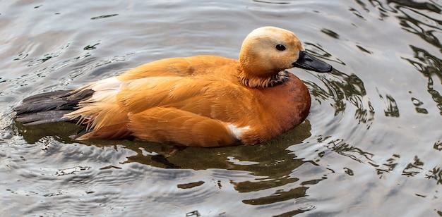Primo piano di un'anatra rossa che nuota in un lago