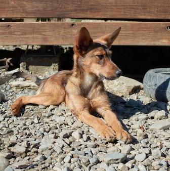 Un primo piano di un cane randagio sdraiato su un terreno ghiaioso