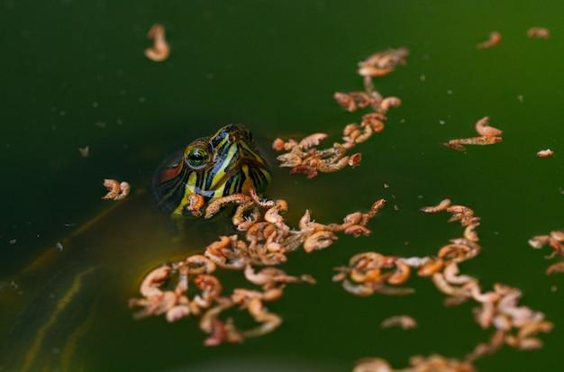 Colpo del primo piano di una tartaruga e di vermi nell'acqua