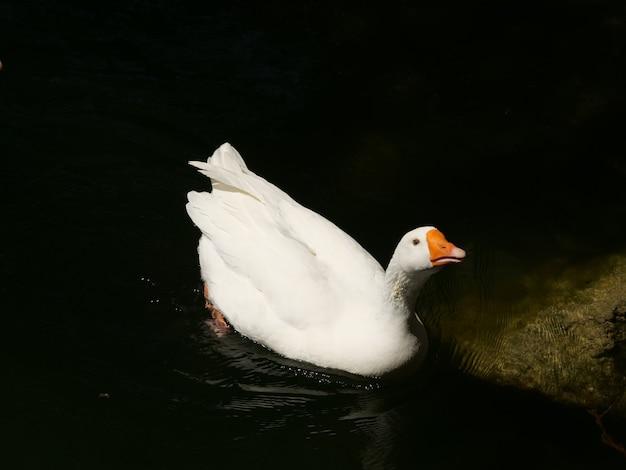 Colpo del primo piano di un'anatra domestica bianca che nuota in un lago