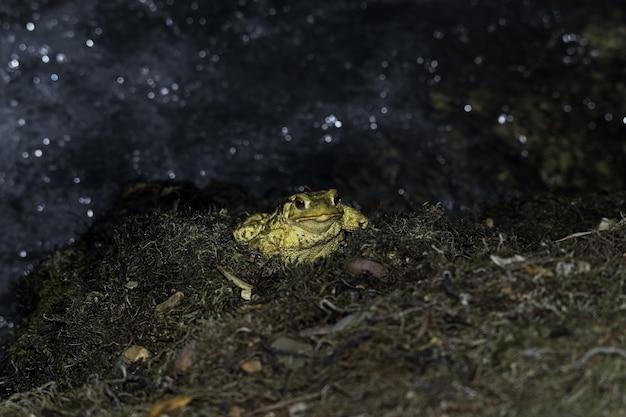 Primo piano di un rospo giallo con occhi rossi sporgenti su uno sfondo sfocato