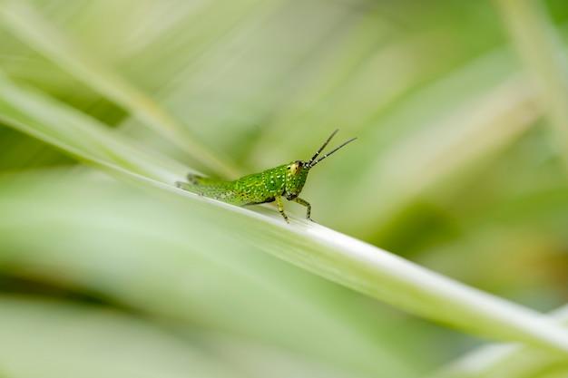 Primo piano piccola cavalletta verde fresca appollaiata sulle foglie nel boschetto.
